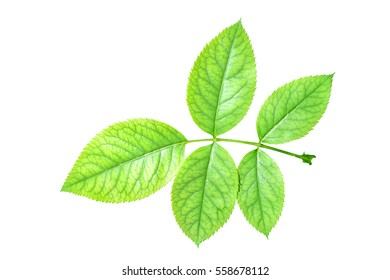 Green rose leaves isolated on white with clipping path