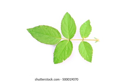 Green rose leaves on white  background.