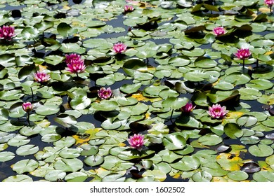 Green and rose water lily