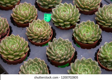 Green rosettes sempervivum succulent plant on flower small pot
