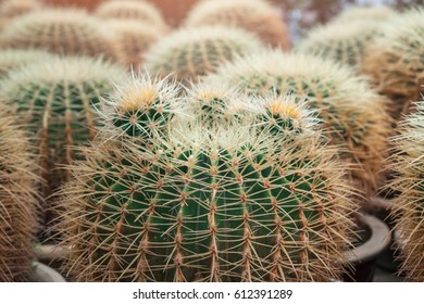 A lot of green round cacti with white and yellow long spines in the clay flower pot. Selective focus on the first cactus