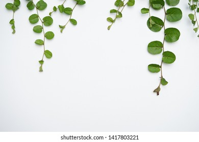 green Roundleaf bindweed  on the White Blackground Leave space for filling letters. Or enter other messages And used as a background for other designs