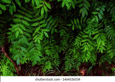 Green Rowan leaves for background. Beautiful leaves for the background. Carved green leaves of mountain ash.