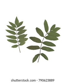 Green rowan leaves. Herbarium. Pressed and dried herbs. Composition of the leaves on a white background.