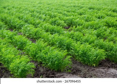 Green rows of carrot plants in an agricultural landscape.