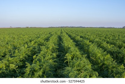 Green rows of carrot plants in an agricultural landscape