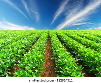 Green rows on field. Agricultural composition