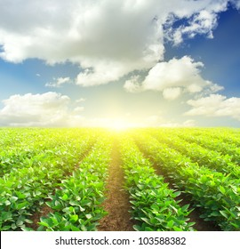 Green rows on field and sunshine. Fresh spring composition