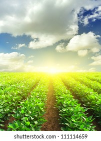 Green rows on field and sunshine. Agricultural composition