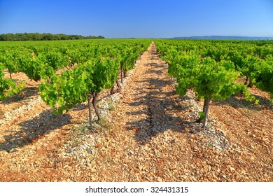 Green rows on rocky ground inside a vineyard near Chateauneuf-du-Pape, Provence-Alpes-Cote d'Azur, France