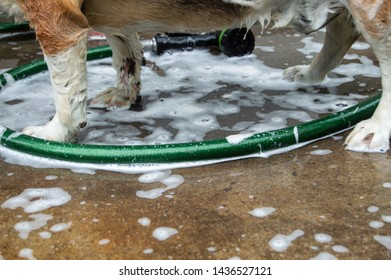 Green rubber hose and soapy water underneath a dog getting a bath