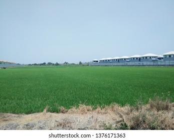 green ruce fields - Shutterstock ID 1376171363