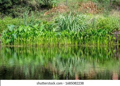 Green rushes reflected in river