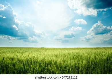 Green rye in field on a sunny day, Europa