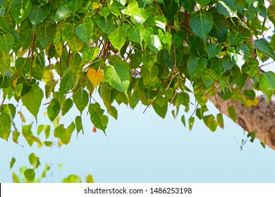 Green sacred fig or pipal leaves