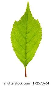 Green sakura leaf isolated on white