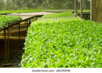 green salad growing in garden