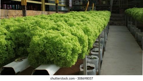Green salad (lettuce) plantations, hydroponic culture, Malaysia.