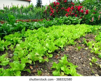 Green salad in permaculture garden