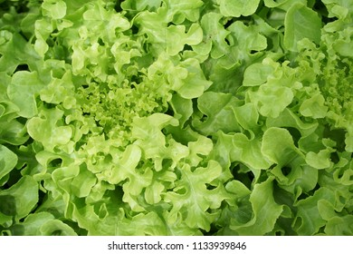 Green salad Vegetable cultivation