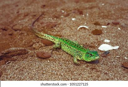 Green sand lizard Lacerta agilis on sand. Horisontal shot