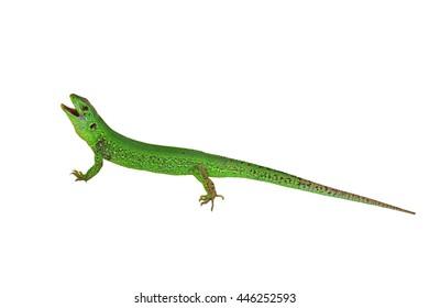 Green Sand lizard (Lacerta agilis) isolated on white background