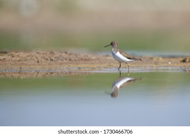 Green sandpiper bird foraging  in the wetlands with reflection in the water