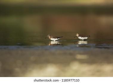 Green sandpiper pair