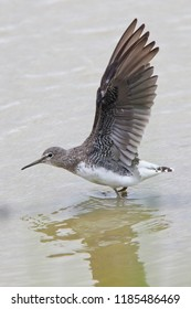 Green Sandpiper, (Tringa ochropus) with wings stretched, Gloucestershire, England, UK.