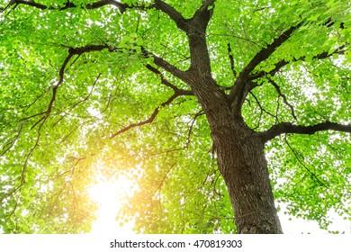 Green Sapium sebiferum tree grows in the forest