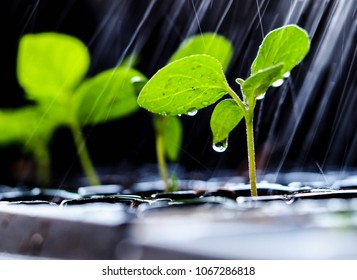 Green sapling growing on the ground in the rain, Young plants growing on black tray with falling rain. Natural concept.