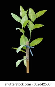 Green sapling of tree or Isolated on a black