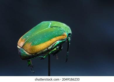 Green Scarab Beetle. June Bug. Scarab Beetle. Cotinis mutabilis. Fig Eater Beetle. Green Fruit Beetle. Isolated on black. Egyptian Scarab insect.