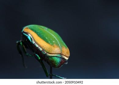 Green Scarab Beetle. June Bug. Isolated on black. Egyptian Scarab Beetle.