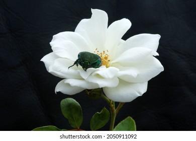 Green Scarab Beetle. June Bug. Scarab Beetle. Scarab Beetle on a White Rose.
