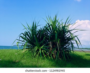 Green Scene Pandanus Beach Plants Grow On Umeanyar Beach North Bali