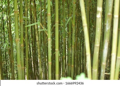 Green scenery with bamboo plantation
