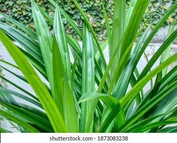 Green Screw Pine (Pandanus or Daun Pandan)