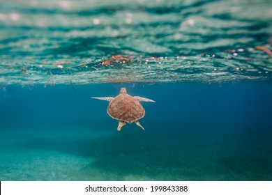green sea Chelonia mydas, turtle,  swimming toward surface along coral reef sea bed in Caribbean