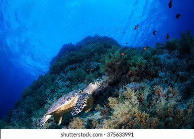 Green sea turle in a reef, Red Sea, Egypt