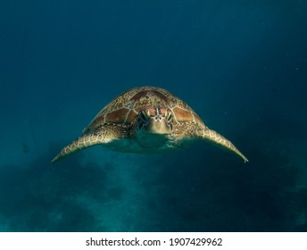 green sea turtle in the blue