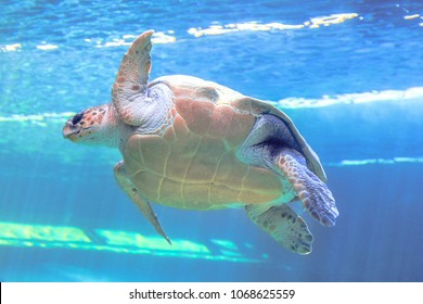 Green sea turtle in blue sea background. Chelonia Mydas species living in tropical and subtropical seas around the world. Family Cheloniidae, bottom view.