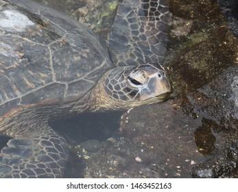 Green Sea Turtle (chelona mydas)