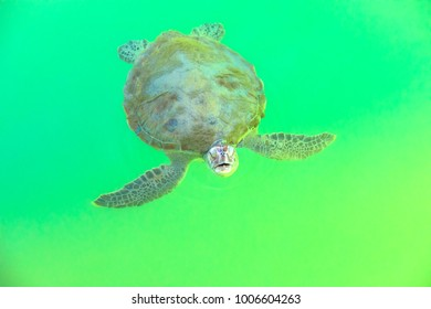 A Green Sea Turtle, Chelonia Mydas, coming to the surface for breathing, from crystal clear waters of Monkey Mia on Coral Coast in Shark Bay, Western Australia.