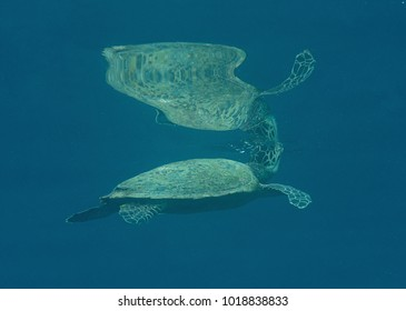 Green sea turtle (Chelonia mydas) swims to the surface to breath air with remora fish (Echeneis naucrates) , Bali, Indonesia