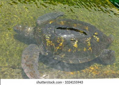 Green sea turtle (Chelonia mydas) under water.