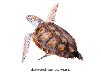 Green Sea Turtle, Chelonia Mydas, isolated on white background. In Australia it is located: southern Great Barrier Reef, Northern Great Barrier Reef, Coral Sea, Gulf of Carpentaria, Western Australia.
