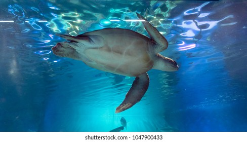 Green sea turtle, Chelonia mydas, swimming in the aquarium