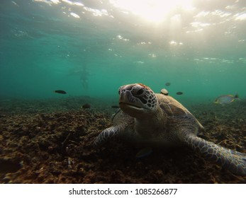 Green sea turtle Chelonia mydas resting on shallow coral reef with tropical fish and snorkeler in the background. Location is Shark Bay near Koh Tao in Thailand