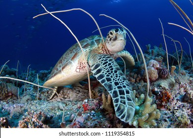 Green sea turtle, Chelonia mydas , feeding in Palau